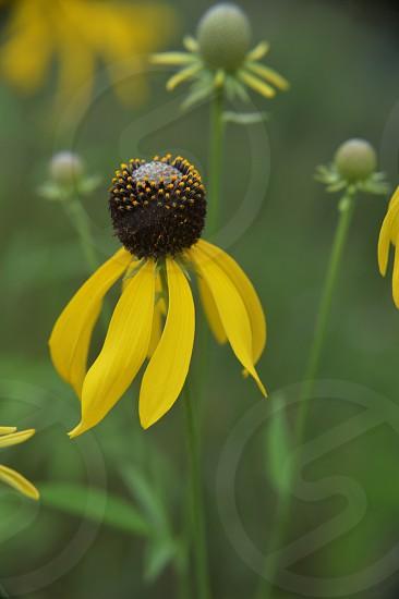 Wild yellow cone flowers photo