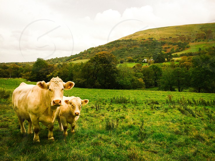 two beige cattles on green grass field at daytime photo