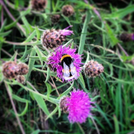 Bumble bee thistle Nature garden outdoors Natural world hiking Scotland mountains  photo