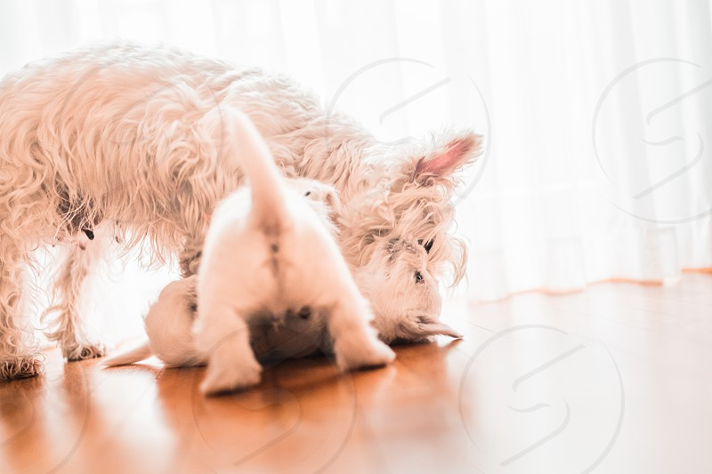 West terrier with two puppies playing on the floor photo