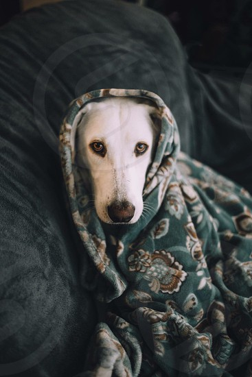 white Labrador retriever mix on sofa covered with green and brown floral blanket photo