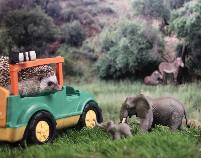 Pet hedgehog in safari setting photo
