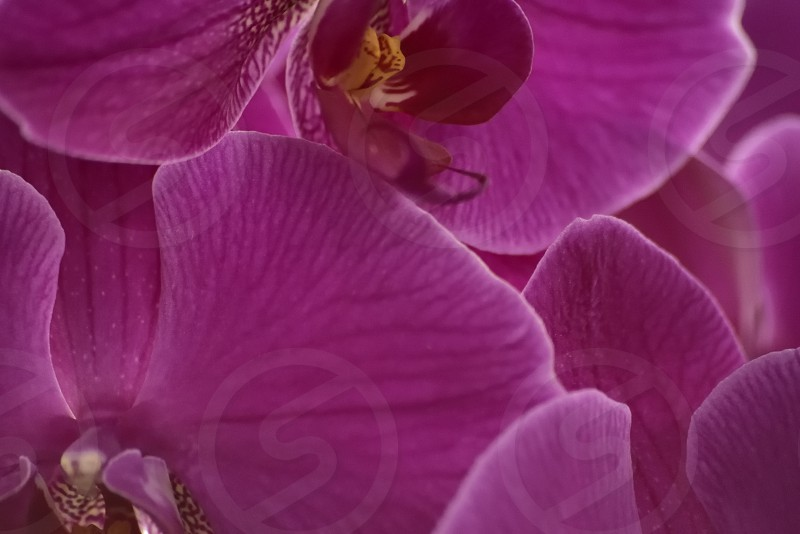 Purple Orchids photo