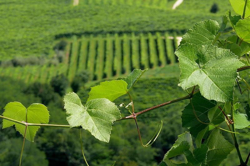 grape vine photo