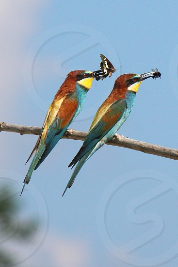 Twins bee-eaters photo