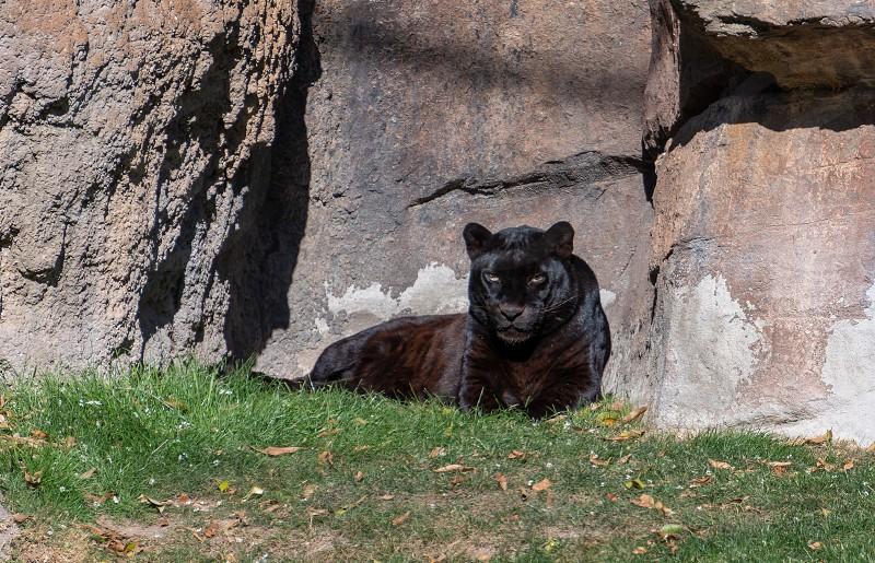 VALENCIA SPAIN - FEBRUARY 26 : Black Leopard at the Bioparc in Valencia Spain on February 26 2019 photo