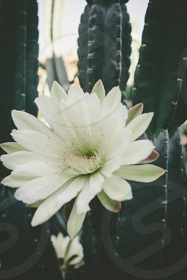 green cactus with white flower photo