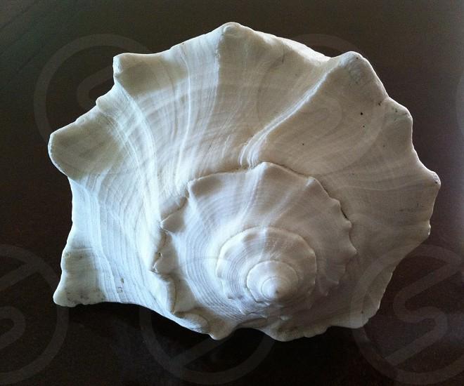 Giant left handed whelk seashell. photo