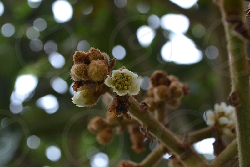Budding loquat tree - getting itself ready to produce fruit photo