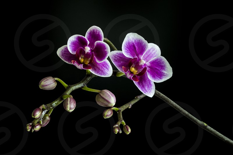 A brunch of Orchid with some buds and flowers on black background  photo