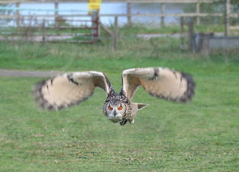 European Eagle Owl photo