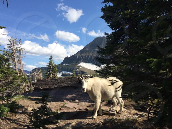 Mountain goat GNP  photo