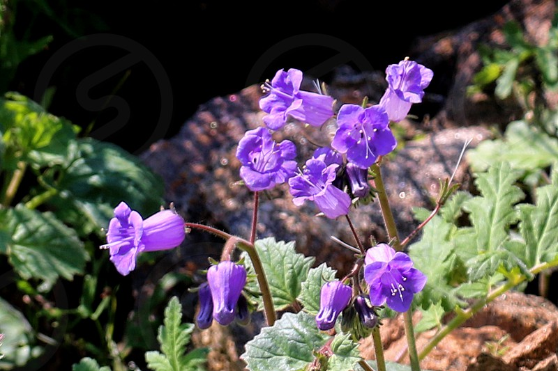 Small and delicate purple bell wildflowers photo