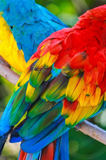 scarlet macaw parrot photo