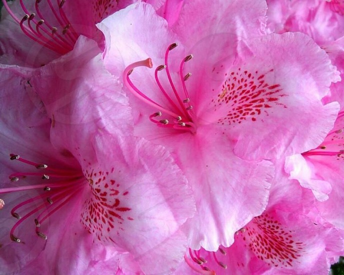 Hot Pink Orchids photo