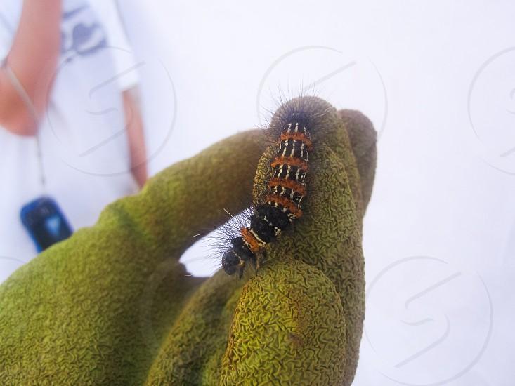 orange and black caterpillar photo