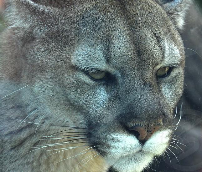 Big Kitty Cat Predator photo