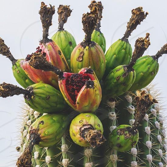 Saguaro Cactus Fruit  photo