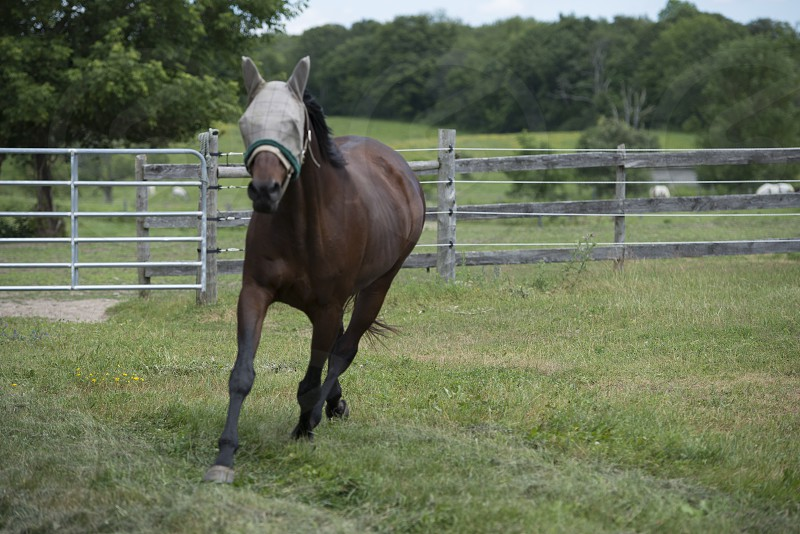 Brown Horse Trotting photo