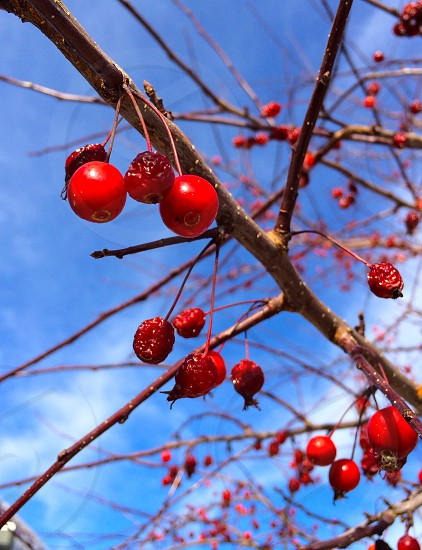 Berries tree autumn fall nature outdoors red photo