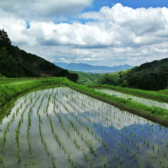 rice paddy under fluffy clouds photo