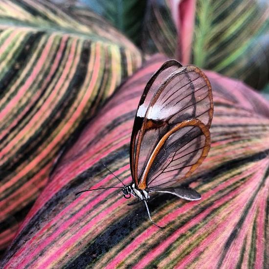 Clearwing butterfly on canna lily leaf Butterfly Wonderland Scottsdale AZ photo