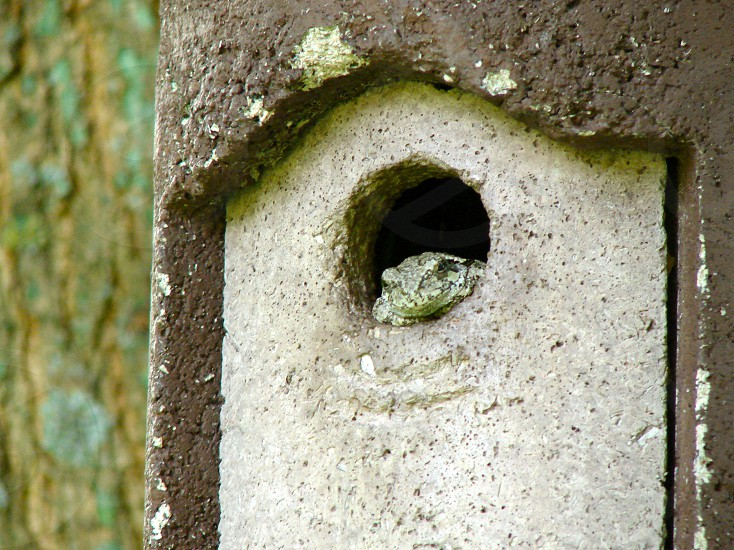 Tree Frog living in a birdhouse. photo