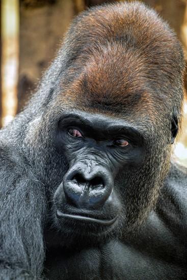 Western Lowland Gorilla (Gorilla gorilla gorilla) photo