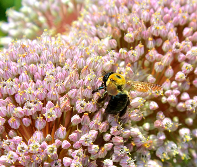 Bees flowers pollenating photo
