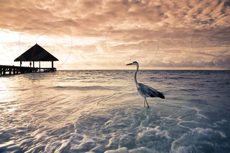 flamingo; animal; bird; feather; lesser flamingo; plumage; sea bird; seabird; beach; wildlife; nature; natural; sea; ocean; froth; wave; sunset; sunshine; dawn; pier; tropical; caribbean; tide; cuba; destination; seascape; sundown; sunsets; wharf; phoenicopterus ruber; daylight; wharfs; sunlight; fauna; oceanic; tropics; dawning; clouds; feathered; foam; daybreak; cloudy; feathers; foamy; dock; destinations; phoenicopterus minor; waves; holidays; vacationing; vacations; maldives; cloudscape;  photo