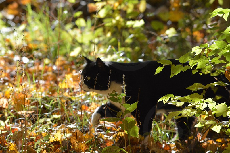 Black and white cat yellow leaves  photo