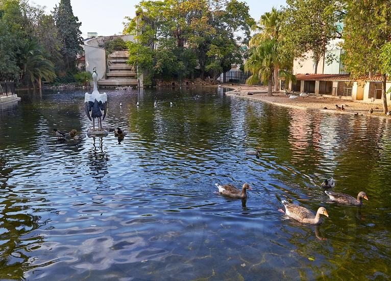 Ducks in Viveros park pond of Valencia at Spain photo