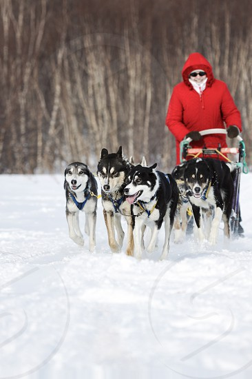 KAMCHATKA PENINSULA RUSSIA - FEBRUARY 5 2012: Woman musher in red clothes drives dog sledding (dog sled) on snowy road in winter forest on Kamchatka Region (Russian Far East). photo