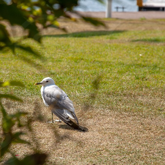 Close up of seagull standing on a lawn in front of a small boat harbor. photo
