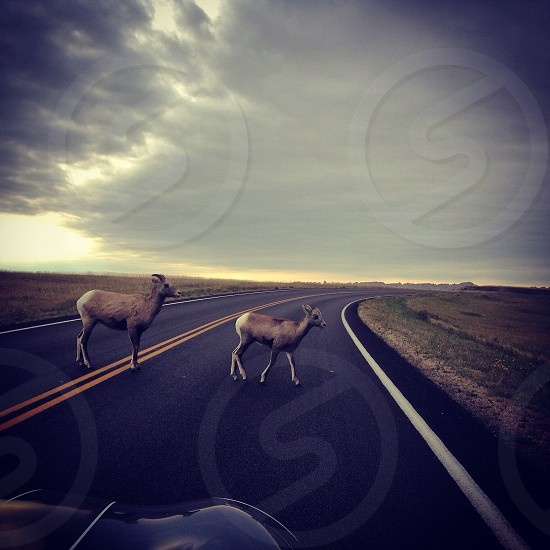 Deers nature roadtrip animals road magical clouds car driving  photo