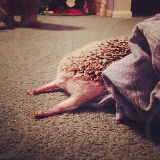My hedgehog mel stretching photo