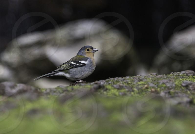 Fringilla madarensis bird only living on portugal island of madeira photo