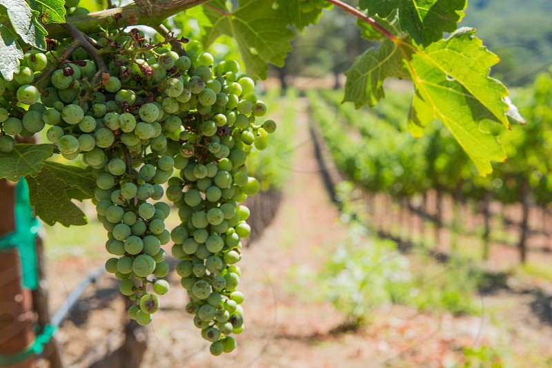 California winery vineyard grapes Sonoma Napa photo