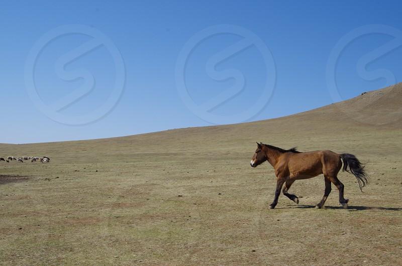 Horse of Mongolia photo