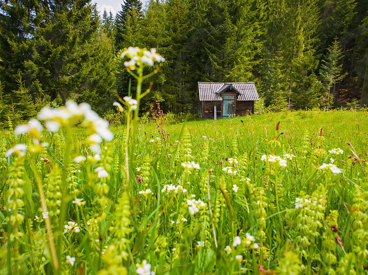Wooden cabin on the blooming meadow surrounded by coniferous woods. Picturesque spring background of the Carpathian mountains. photo