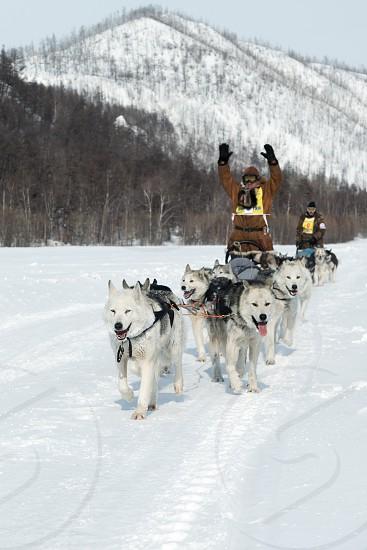 KAMCHATKA RUSSIA - MARCH 9 2013: Running dog sledge team Kamchatka musher Levkovsky Nikolai. Traditional Kamchatka extreme Dog Sledge Race Beringia. Russian Federation Far East Kamchatka Peninsula. photo