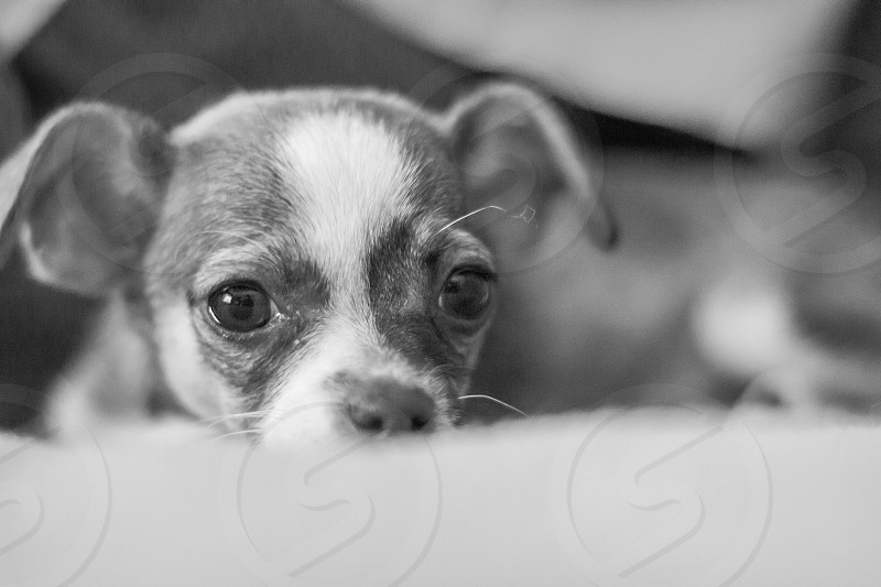 gray and white chihuahua puppy photo