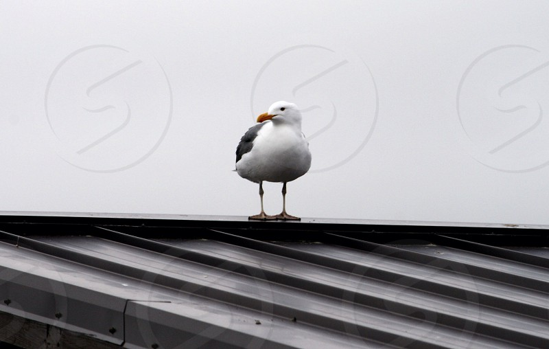 Seagull on the roof photo