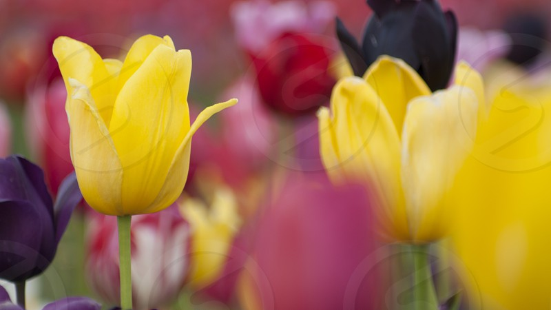 Oregon's Wooden Shoe Tulip Festival tulips photo