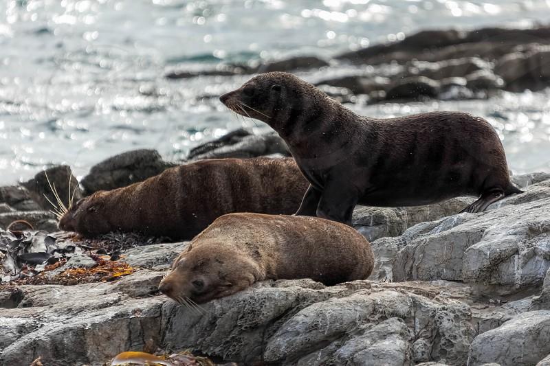 New Zealand fur seal (Arctocephalus forsteri) photo
