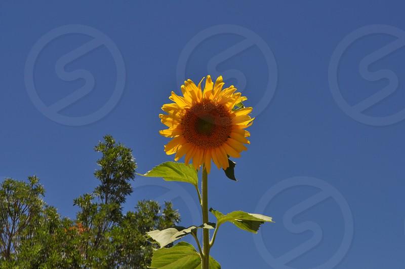 Sunflower summer flower Yellow flower photo