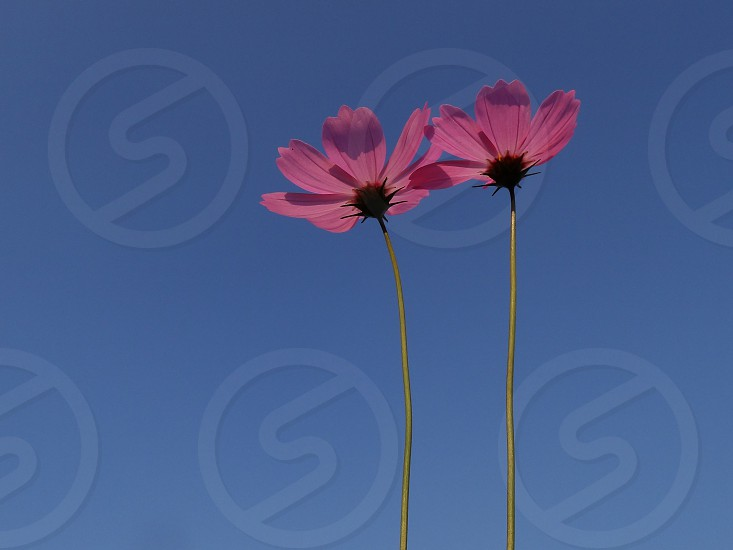 Cosmos flower is blooming in the sunshine                           photo