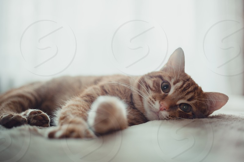 Rudy red cat portrait brown tabby domestic pet animals look paw eye kitten sleep bed bedroom home indoor whiskers seriously  photo
