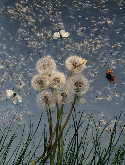 Cute dandelions and butterflies photo