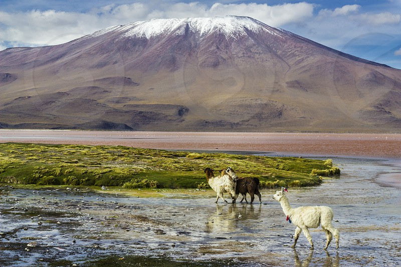 The original camel from the Andes The Lama is an andean animal that lives in high altitudes like the Andes Altiplano. Uyuni Bolivia  photo